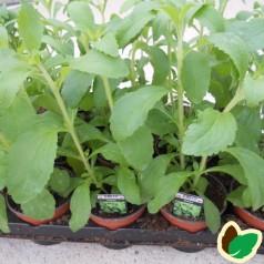Stevia rebaudiana / Sukkerplante