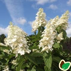 Hydrangea paniculata Kyushu / Træagtig Hortensia