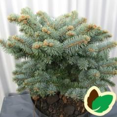 Picea pungens glauca Globosa - Dværgblågran / 25-35 cm.