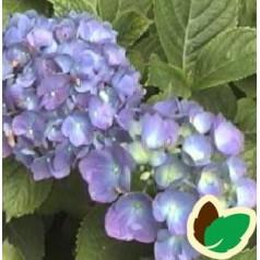 Hydrangea macrophylla Blue Danube / Hortensia