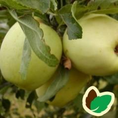 Æbletræ Bodil Neergård