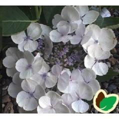 Hydrangea macrophylla Libelle / Hortensia