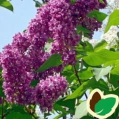 Syringa vulgaris Mrs Edward Harding - Storblomstret Syren