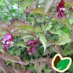 Leycesteria formosa Purple Rain / Fasanbusk