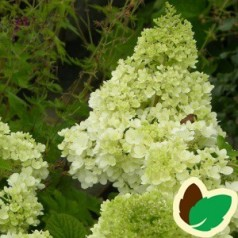 Hydrangea paniculata Magical Moonlight / Syrenhortensia