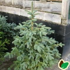 Picea pungens Glauca - Blågran / 50-60 cm.