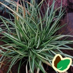 Carex morrowii Variegata / Japansk Star