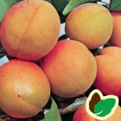 Abrikostræ Orangered / Ferskenabrikos