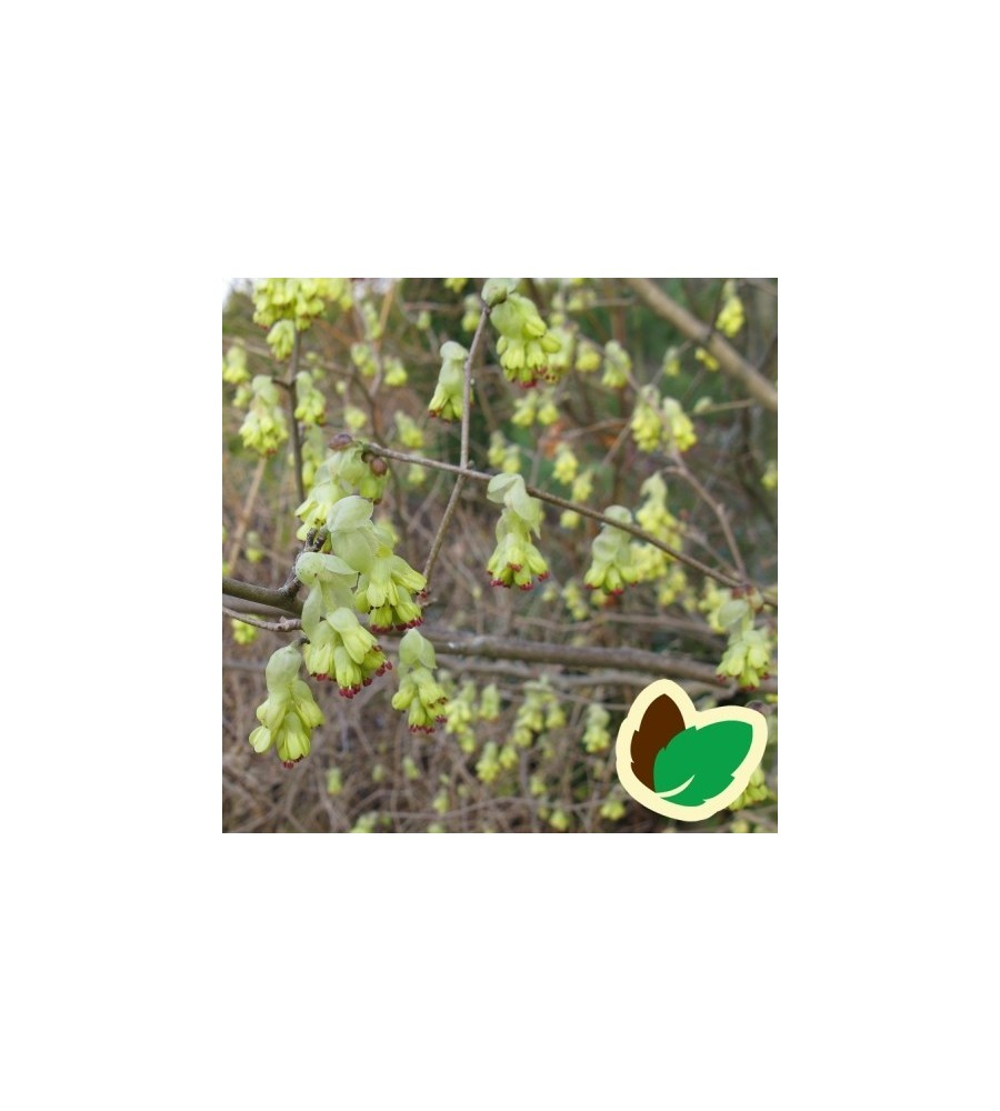 Corylopsis spicata / Hasselbror