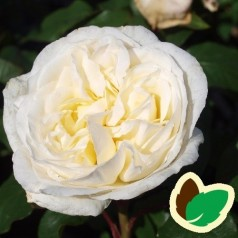 Rose Claus Dalby - Storblomstret Rose