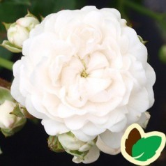 Rose White Fairy - Bunddækkende rose - barrods