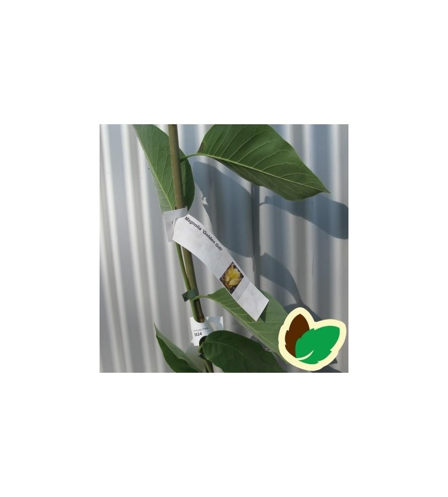 Magnolia Golden Drift / Magnolia