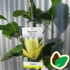 Magnolia Daphne / Magnolia