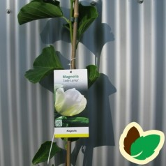Magnolia Jade Lamp / Magnolia