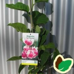 Magnolia Satisfaction / Magnolia