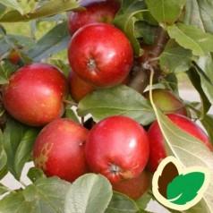 Æbletræ Ildrød Pigeon