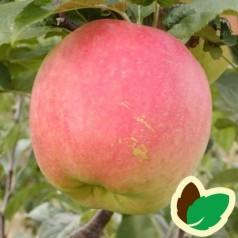 Æbletræ James Grieve