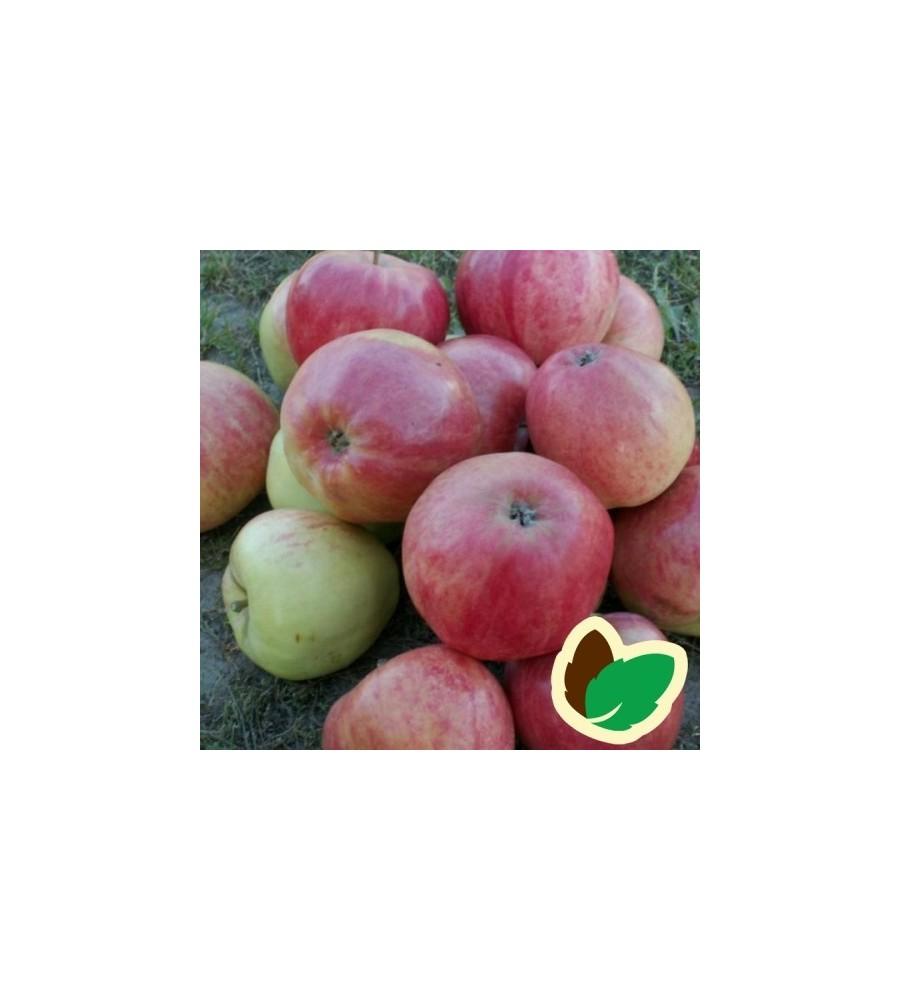 Æbletræ Rød Ananas