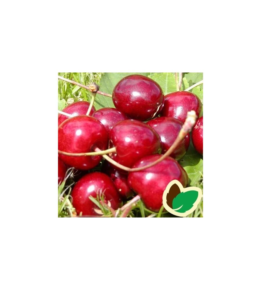 Kirsebærtræ Sam