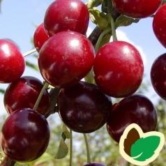 Kirsebærtræ Skyggemorel