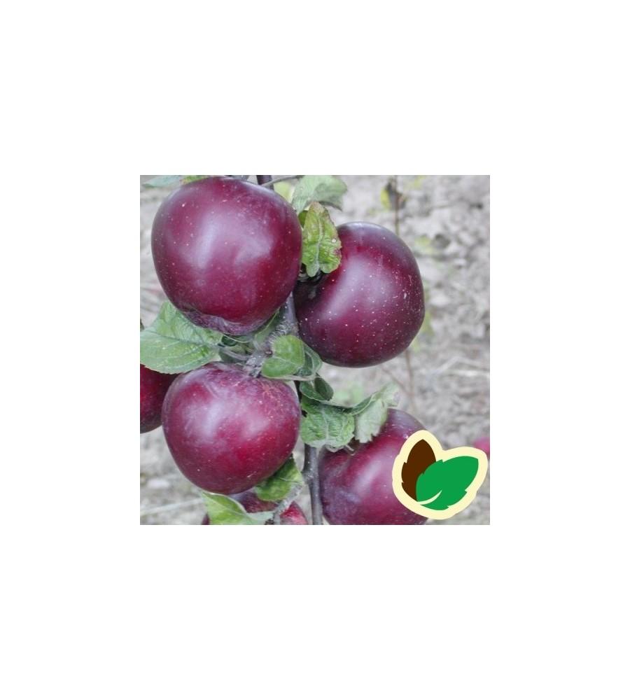 Æbletræ Spartan