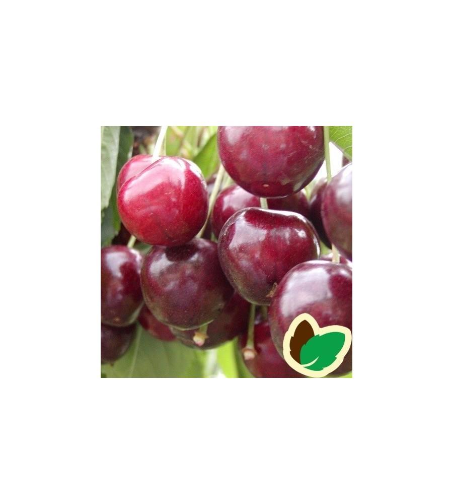 Kirsebærtræ Stella