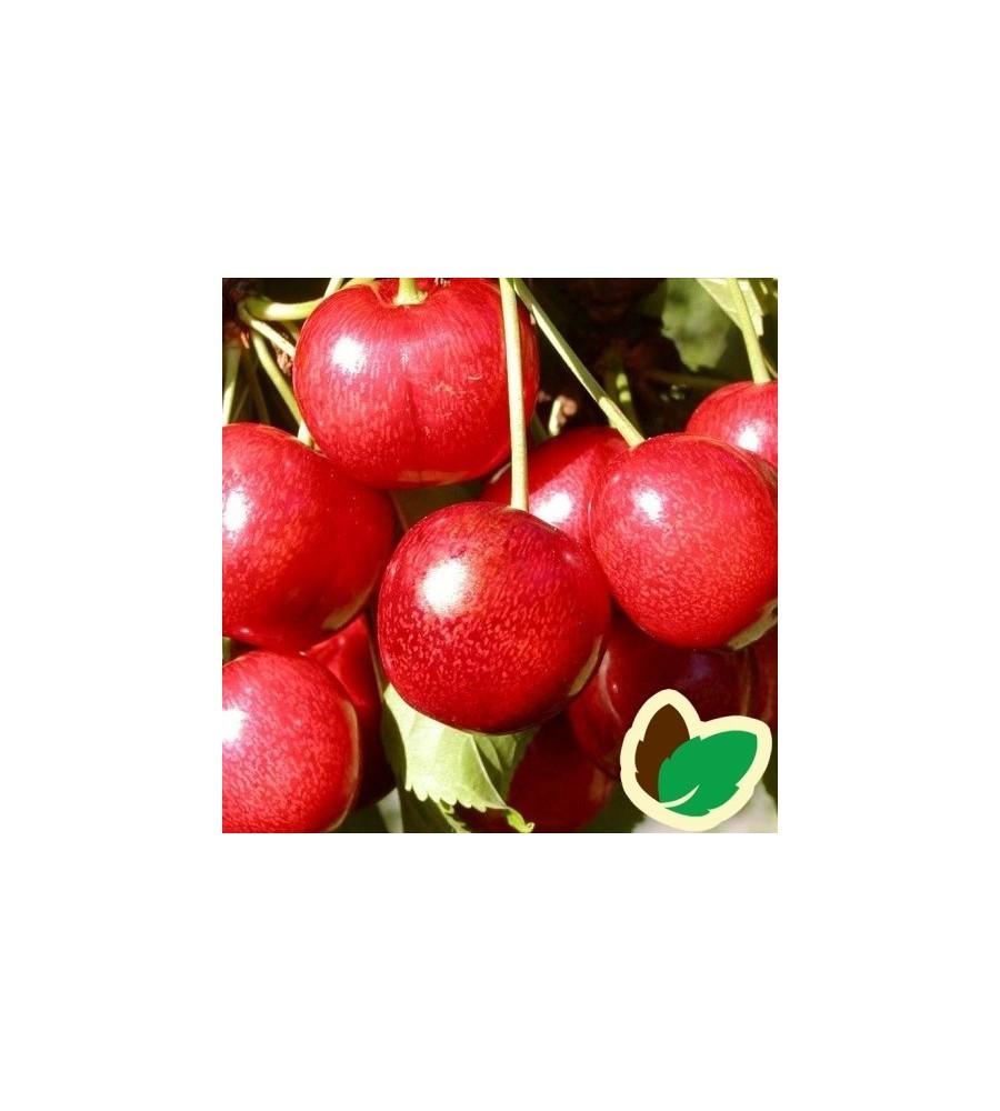 Kirsebærtræ Sunburst