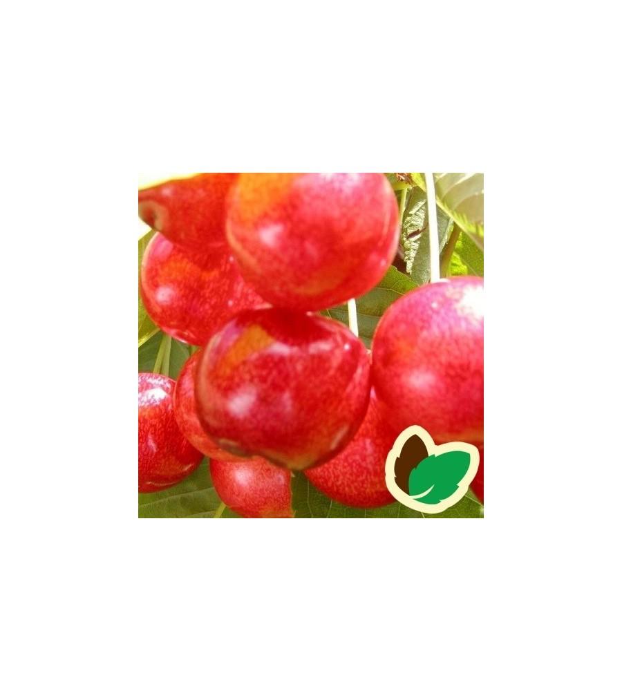Kirsebærtræ Victor