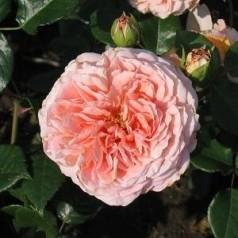 Rose Abraham Darby / Engelsk Rose