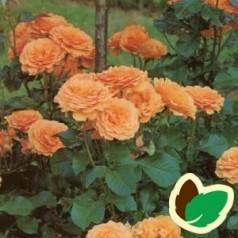 Rose Amber Queen / Buketrose