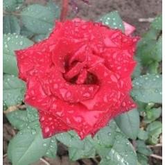 Rose Barkarole / Storblomstret Rose
