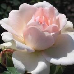 Rose Clair Renaissance / Renaissancerose