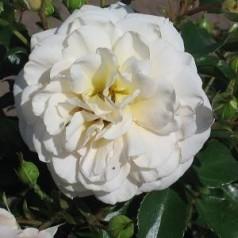 Rose Crystal Palace / Palace Rose