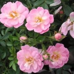 Rose Easy Cover / Bunddække rose Towne- og Country