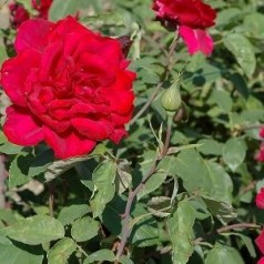 Rose Erotica / Storblomstretrose