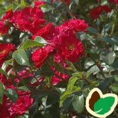 Rose Fairy Dance / Bunddækkende rose
