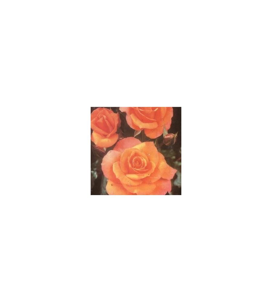 Rose Gavnø - Buketrose / Barrods