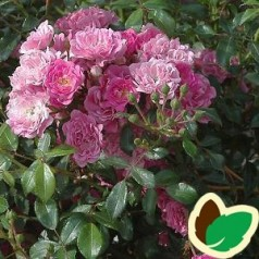 Rose Pink Fairy / Bunddækkende rose