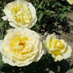 Rose Tivoli 150 / Storblomstret Rose
