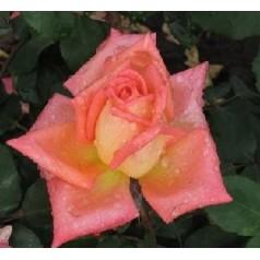 Rose Victor Borge / Storblomstret Rose