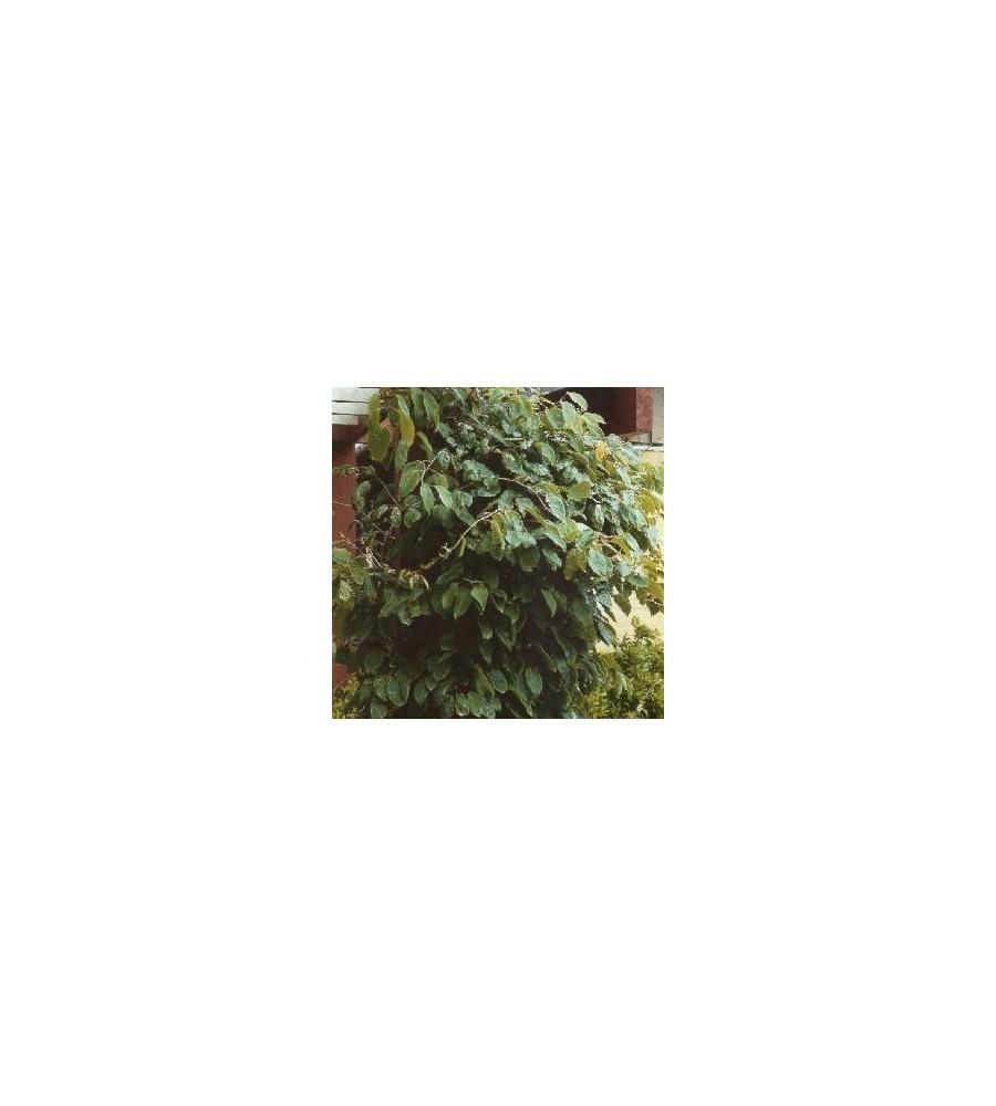 Actinidia arguta / Stikkelsbærkiwi