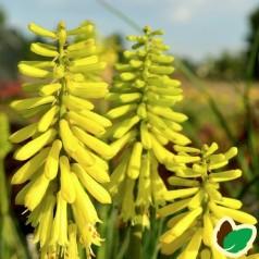 Kniphofia hybrid Lemon Popsicle - Raketblomst
