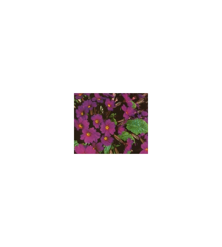 Primula juliae Wanda / Pudeprimula