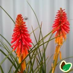Kniphofia hybrid Papaya Popsicle - Raketblomst