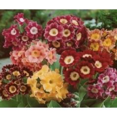 Primula pubescens / Haveaurikel