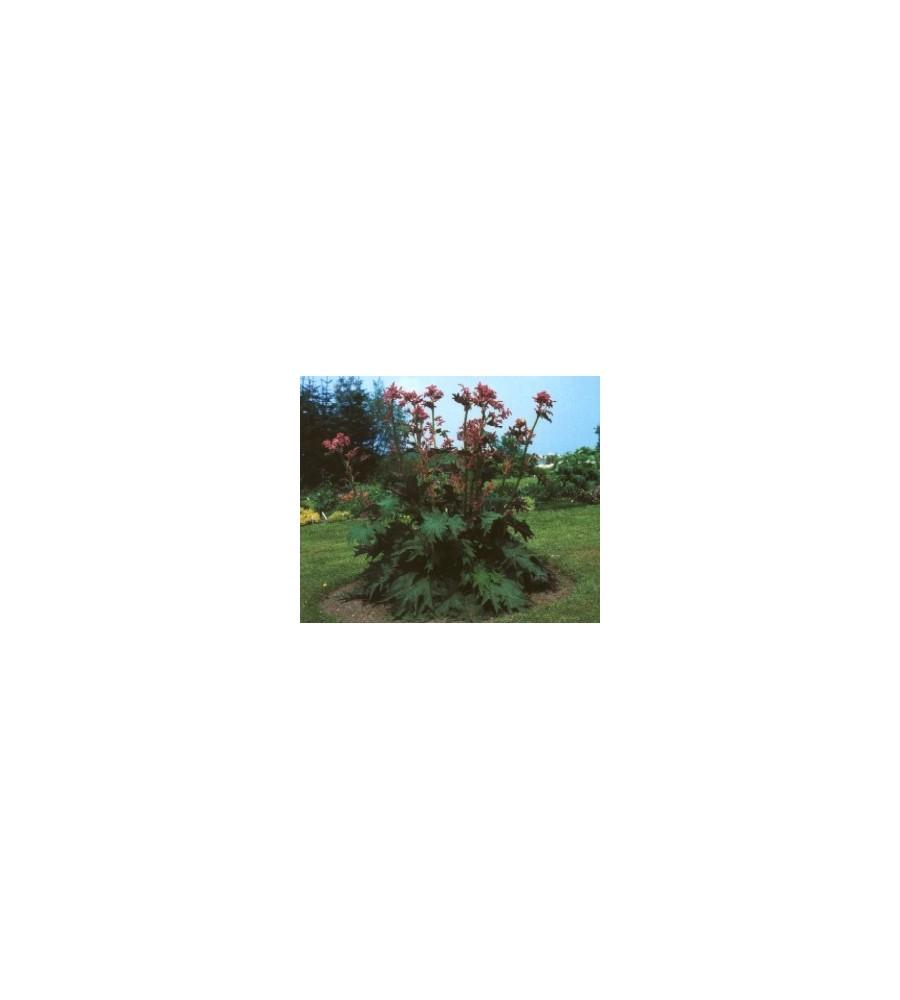 Rheum palmatum var Tanguticum / Prydrabarber