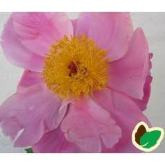 Paeonia lactiflora Nymphe / Silkepæon