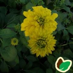 Rudbeckia laciniata Goldquelle - Solhat