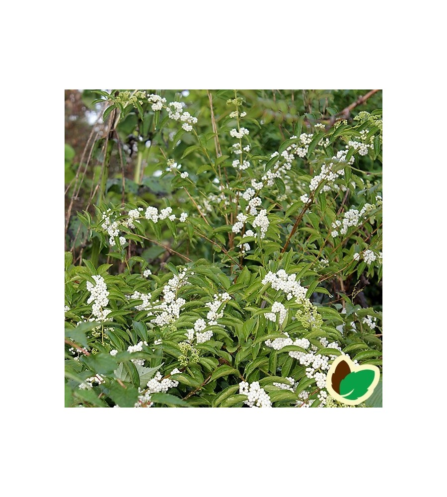 Callicarpa japonica Leucocarpa / Glasbær