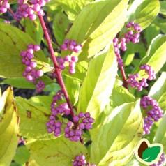 Callicarpa dichotoma Issai / Glasbær